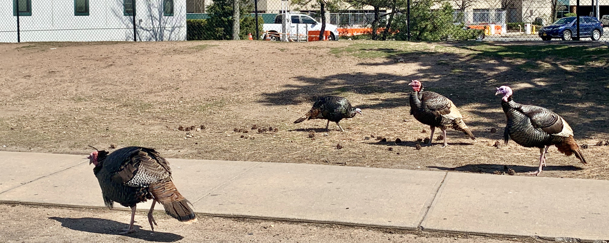 Wild turkeys, once hunted to near extinction, on the streets of New York during lockdown (picture: Getty)